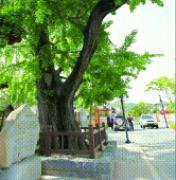 마을입구 600살 은행나무 최근 6년새 아들·손자목 얻어