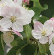 [좋은 시 읽기 | 《2011 좋은시》 중에서] 사과나무를 통해 읽는 아름다운 꽃길