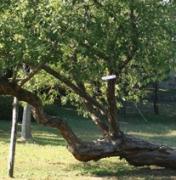 터줏대감 나무 이야기 | 상수리나무