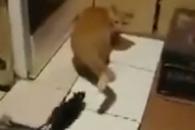 (영상)쥐에 쫒겨다니는 '겁쟁이 고양이' 포착