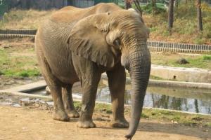 [동물박사가 들려주는 동물이야기] (10) 동물원 수의사와 코끼리의 애달픈 사연
