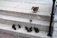 계단 오르는 새끼 오리들이 주는 교훈은?