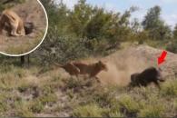 '지금이 기회야' 멧돼지들, 사자 피해 극적 탈출