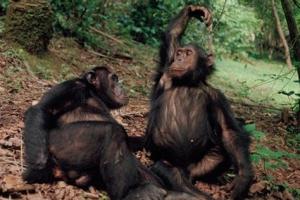 눈치 없는 사람도 많은데...침팬지도 눈치보고 상호협력한다