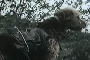 [정현용 기자의 밀리터리 인사이드] '4만 군견' 폭탄특공대·방패삽… 아군 위한 개…