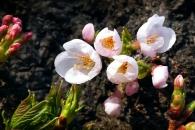 [한컷포토] '봄이 성큼'   남산에 벚꽃이?