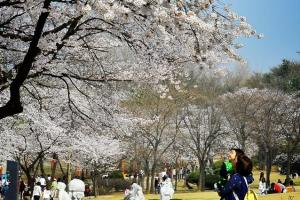 """케이웨더 """"서울서 올해 벚꽃 4월 6일쯤 개화"""""""