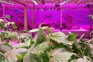 [ICT, 농부가 되다] 파프리카 알아서 따는 로봇 개발… 수직 식물공장은 LED로 성분 조…