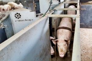 [ICT, 농부가 되다] 좁은 케이지 벗어난 젖소와 돼지… 복지 좋아지니 생산 늘었다