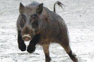 연세대 신촌캠퍼스에 멧돼지 출현 소동…이달만 두 번째