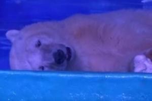 [송혜민 기자의 월드 why] 굶주림에 새끼 잡아먹는 북극곰… 인간이 만든 비극