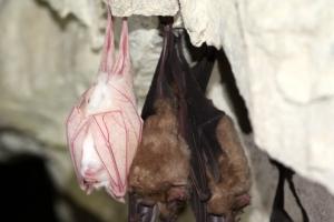 길조인가?…오대산 국립공원에 하얀 박쥐 출현