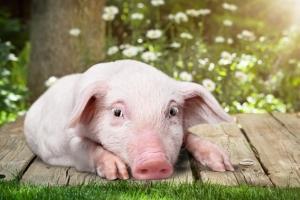 [송혜민 기자의 월드 why] 돼지테리언 직장인 김모씨, 베지테리언 된 까닭