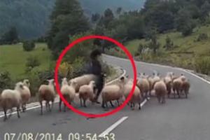 차량에 놀란 양, 양치기 여성 공격 순간 '아찔'