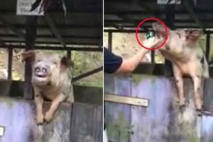 갈증 난 돼지에게 맥주를?…동물학대 논란