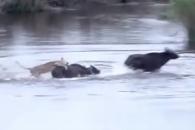 들소 잡으려 물속 뛰어든 사자, 결국엔…