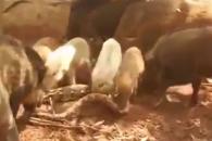 '돼지의 복수' 새끼 잡아먹은 비단뱀 죽이는 멧돼지…
