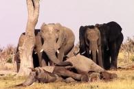 '잘 가, 친구야!' 죽은 동료 떠나지 못하는 코끼리 …
