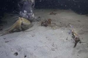 게 쫓던 문어, 바다표범에게 그만…