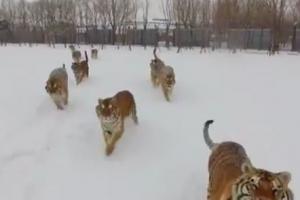 드론, 먹잇감으로 착각해 사냥한 호랑이떼