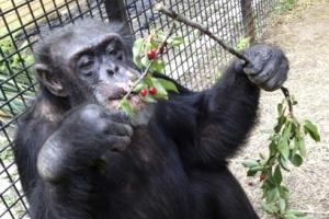 침팬지에 '사람 지위' 부여될까?…美법원 곧 판결