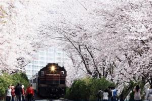 '4월의 눈' 흩날리면 군항 고도 진해선 '벚꽃 엔딩'