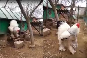 거대한 덩치 자랑하는 '브라마 닭' 화제