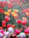 [포토] 봄과 튤립