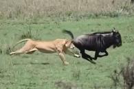 순식간에 누 사냥하는 사자 포착