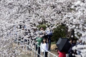 [포토]벚꽃 만개한 워싱턴D.C의 봄