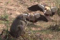 둥지 안 거위알 훔쳐 먹는 개코원숭이 포착