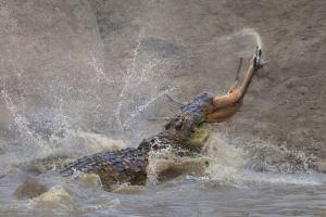 죠스처럼 가젤 낚아채 사냥하는 대형 악어