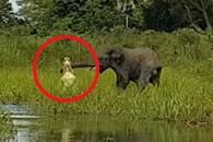 악어에 코 물린 새끼 코끼리의 운명은?