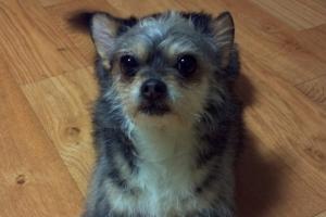 [김유민의 노견일기] 아주 작은 개, 푸페의 죽음