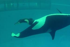 수족관 어미 범고래의 출산 순간