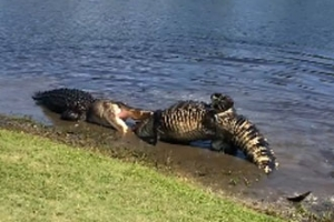 골프장 연못서 피 터지게 싸우는 대형 악어들