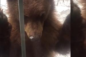 <화제의 영상> '똑똑' 호기심 많은 새끼 곰