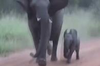 어미 따라 사파리차량 위협하는 새끼 코끼리
