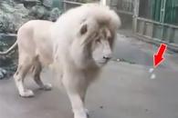 비눗방울에 고양이처럼 깜짝 놀라는 사자