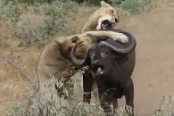 들소 사냥하던 사자, 백기 든 사연?