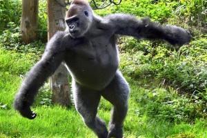 [핵잼 라이프] 춤추는 '발레릴라' 英동물원 인기 스타