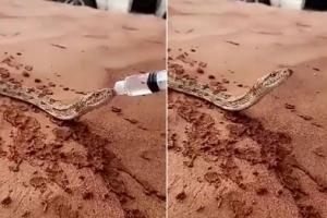 사막서 탈진한 뱀…사람이 준 물로 목 축여