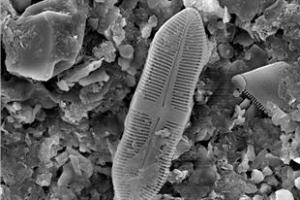 미기록 돌말 화석 1000년 만에 빛 보다