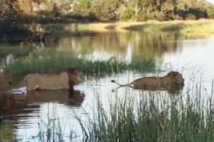 강 건너다 악어에게 공격받은 사자 형제의 운명?