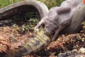5시간의 사투 끝에 악어 집어삼키는 비단뱀