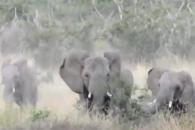 벌 떼에 쫓겨 도주하는 코끼리 가족