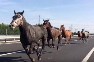 [황당한 영상] 고속도로 역주행하는 말무리 포착
