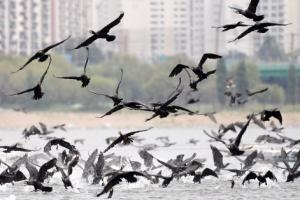 [서울포토] 한강 위 날아오르는 민물가마우지떼