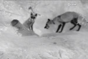 지리산 반달가슴곰·소백산 여우 '출산 겹경사'