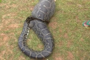 염소 통째로 삼킨 5m 비단뱀 포착